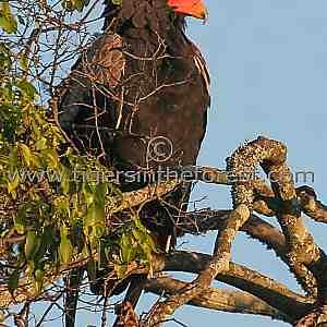 Bateleur Eagle (Bateleur Eagle)