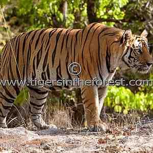Male Tiger (Panthera tigris tigris)