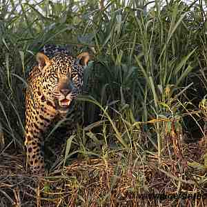 Jaguar seen at ThePantanal