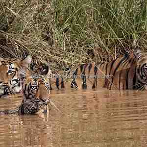 Tigress (Panthera tigris tigris) with her two cubs at a water hole