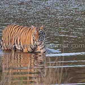 Sonam sub-adult tigress (Panthera tigris tigris)