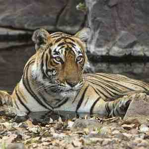 One of Ranthambhore's beautiful tigress's (Panthera tigris tigris)