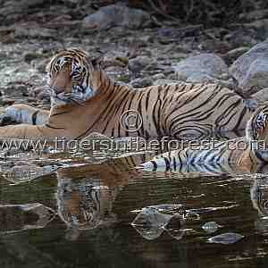 Siblings of Ranthambhore much loved tigress (Panthera tigris tigris)