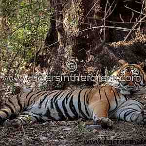 Ustad large male tiger of Ranthambhore (panthers tigris tigris)