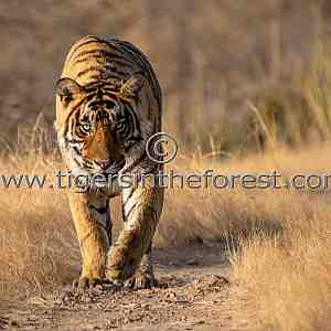 Young male tiger heading in my direction!