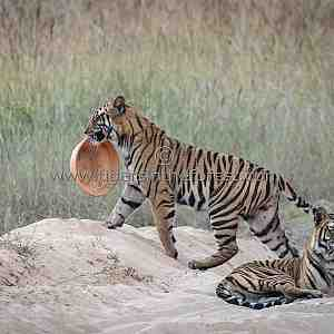Amazing tiger (Panthera tigris tigris) behaviour