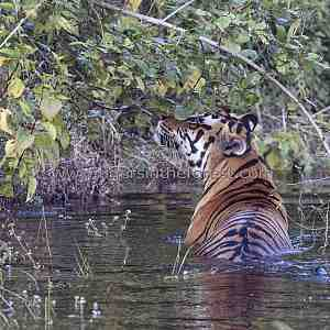 Tiger (Panthera tigris tigris) enjoying a dip.