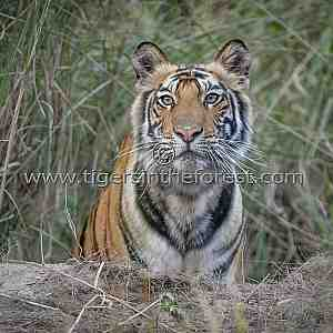 Curious young tiger about leave its cover.