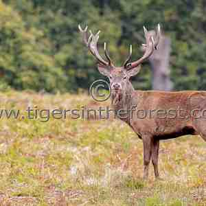 Red deer stag (Cervus Elaphus) at the time of the rut