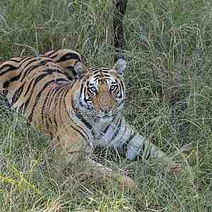 Young Bandhavgarh tigress (Panthera tigris tigris) known as 'Spotty'