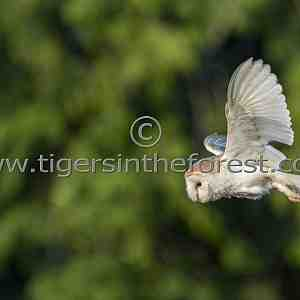 Barn Owl (Tyto alba) quartering over rough grassland in search of prey