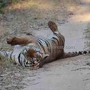 It's a hard life for a tiger (Panthera tigris tigris)