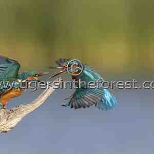 Kingfishers (Alcedo atthis) having a territorial dispute