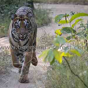 Tigress Choti Madhu giving chase to my jeep.
