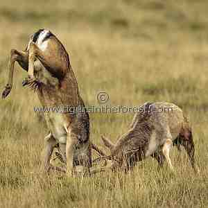 Fallow deer stags (Dama dama) rutting at Petworth Park