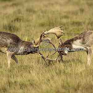 Fallow Deer (Dama dama) during the rutting period