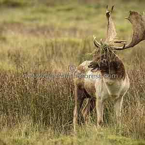 Fallow Deer Stag (Dama dama) proudly displaying his 'enlarged' antlers.