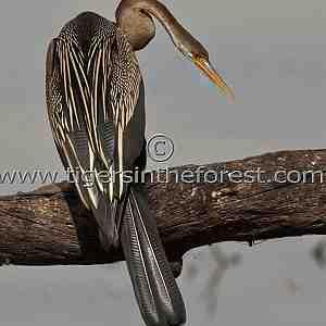 Snakebird or Darter (Anhinga rufa)
