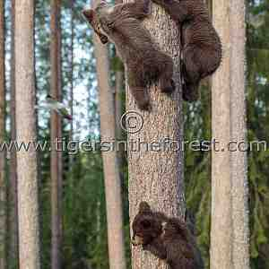 Bear cubs learning to climb
