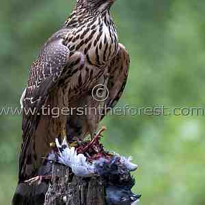 The powerful Northern Goshawk (Accipiter gentiles)