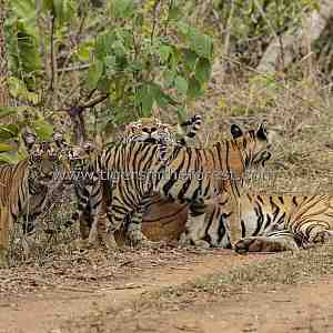 'Madhuri' tigress (panthera tigris tigris) together with her four little cubs