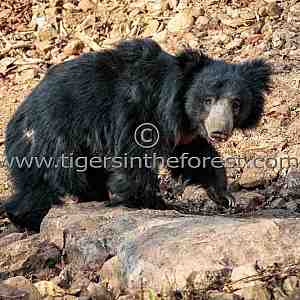 Sloth bear (Melursus ursinus) seen at Tadoba