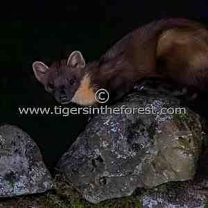Pine Marten (Martes martes) seen during the nighttime in Scotland