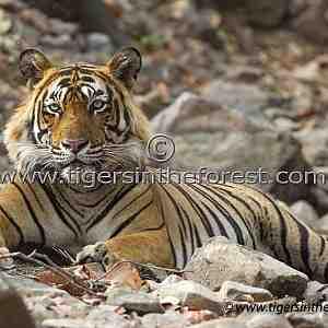 Ustad (T.24) (Panthera tigris tigris)