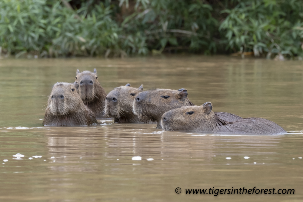 Capybara Family (Hydrochaerus Hydrochaeris) Swimming In ...