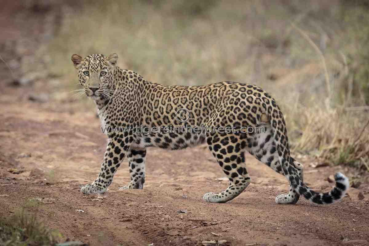 Male Leopard  Panthera Pardus Fusca